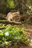 image of cougar  - Close up big cougar in natural habitat - JPG