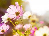 Different pink cosmos flower