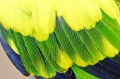Yellow And Green Parrot Bird Feathers In Close Up