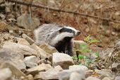 image of badger  - Badger near its burrow in the forest - JPG