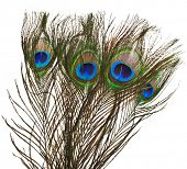 four peacock feather plume isolated on white close-up
