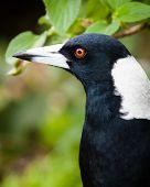Head Of Australian Magpie Bird Against Blurred Green Background