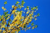 Yellow Forsythia Bush In Front Of Blue Sky