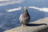 Grey Dove On Parapet Of Embankment