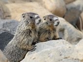 stock photo of marmot  - A pair of Juvenile Yellow - JPG
