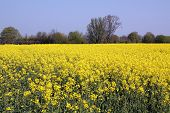 pic of rape-seed  - Yellow rape seed field in the meadow - JPG