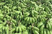 Pile Of Unripe Banana Called Kluay Khai