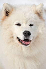 image of laika  - Dog portrait - JPG