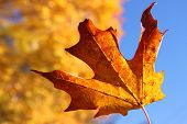 Orange Maple Leaf In Autumn