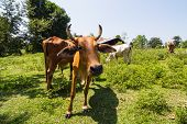 pic of female buffalo  - Cows on the farm, rural land of thailand ** Note: Shallow depth of field - JPG
