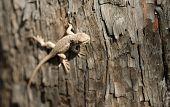 Wild Animal Sagebrush Lizard Forest Reptile Sceloporus Graciosus