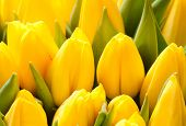 beautiful yellow tulips, big bouquet