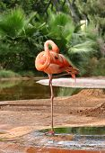 stock photo of pink flamingos  - A flamingo at a zoo - JPG