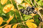 image of mountain-ash  - berry brush of fruits of a black mountain ash in the autumn sunny day