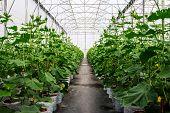 Field Cucumber In Greenhouse