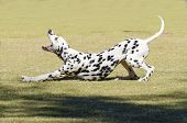 picture of spotted dog  - A young beautiful Dalmatian dog stretching and yawning on the grass distinctive for its white and black spots on its coat and for being alert active and an intelligent breed - JPG