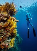 Underwater shot of the lady free diver in wet suit ascending along the vivid coral reef wall. Red Sea, Egypt