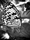 Butterfly With Damaged Wing