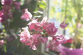 Bougainvillea Tree In Blossom