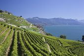 View Over Lake Geneva From The Lavaux Vines.