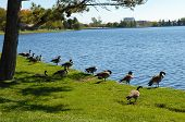Canada Geese On The Lake.