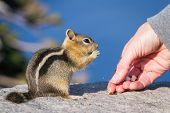 Hand Feeding A Chipmunk