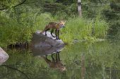 Serene Red Fox