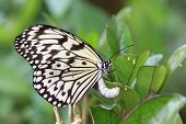 foto of laying eggs  - Large Tree Nymphs butterfly and eggs - JPG