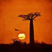 foto of baobab  - Highly detailed vintage image of Baobabs avenue Madagascar  - JPG