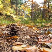 Pinecone In The Fallen Leaves In Autumn Forest