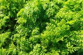 Fresh Leaves Of Wild Carrot Plants