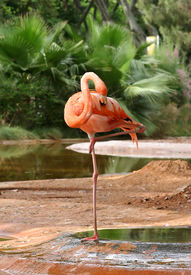 stock photo of pink flamingos  - A flamingo at a zoo - JPG