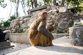 image of ape  - Macaque ape and her young in Kathmandu - JPG