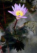 Mauve purple water lily with insect yellow centre and reflection