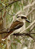 Australian Kookaburra bird in tree