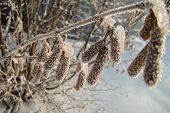 image of alder-tree  - alder branch with catkins in frost in the sun - JPG