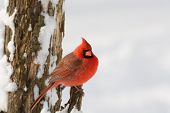 picture of cardinal  - A northern cardinal perched on a branch after a winter snowfall - JPG