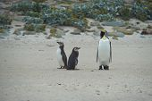picture of falklands  - Juvenile Magellanic Penguins  - JPG