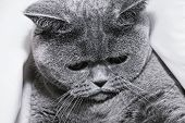 stock photo of portrait british shorthair cat  - Young short - JPG