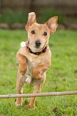 stock photo of dog ears  - A dog jumps over a wooden stick at speed in a garden with his ears flapping upwards - JPG