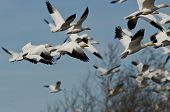 foto of geese flying  - Flock of Snow Geese Flying Over the Marsh - JPG