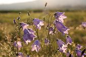 picture of harebell  - Bell flower (Campanula rotundifolia) with morning dew at Engenhahn Hesse Germany ** Note: Shallow depth of field - JPG