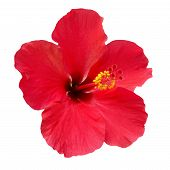 picture of rosa  - Red flower - JPG