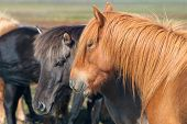 foto of iceland farm  - Two beautiful Icelandic horses - JPG