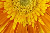 pic of stamen  - Big orange gerbera flower closeup shot with stamens and petals - JPG
