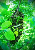 picture of swarm  - Swarm of honey bees on a tree - JPG