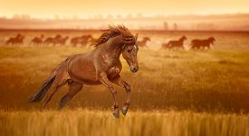 foto of stallion  - Red horse galloping - JPG