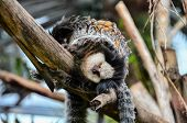 picture of marmosets  - Callithrix Geoffroyi Small Black and White Monkey - JPG