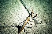 picture of creepy crawlies  - Brown Colored Adult Smart Insect Mantis Religiosa - JPG