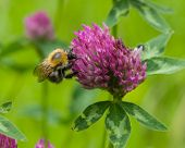 image of red clover  - bee at red clover flower macro selective focus shallow DOF - JPG